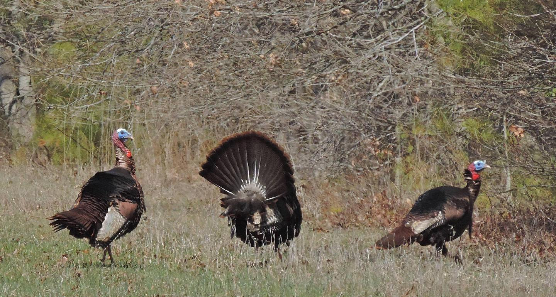 Turkeys on Blackwater National Wildlife Refuge