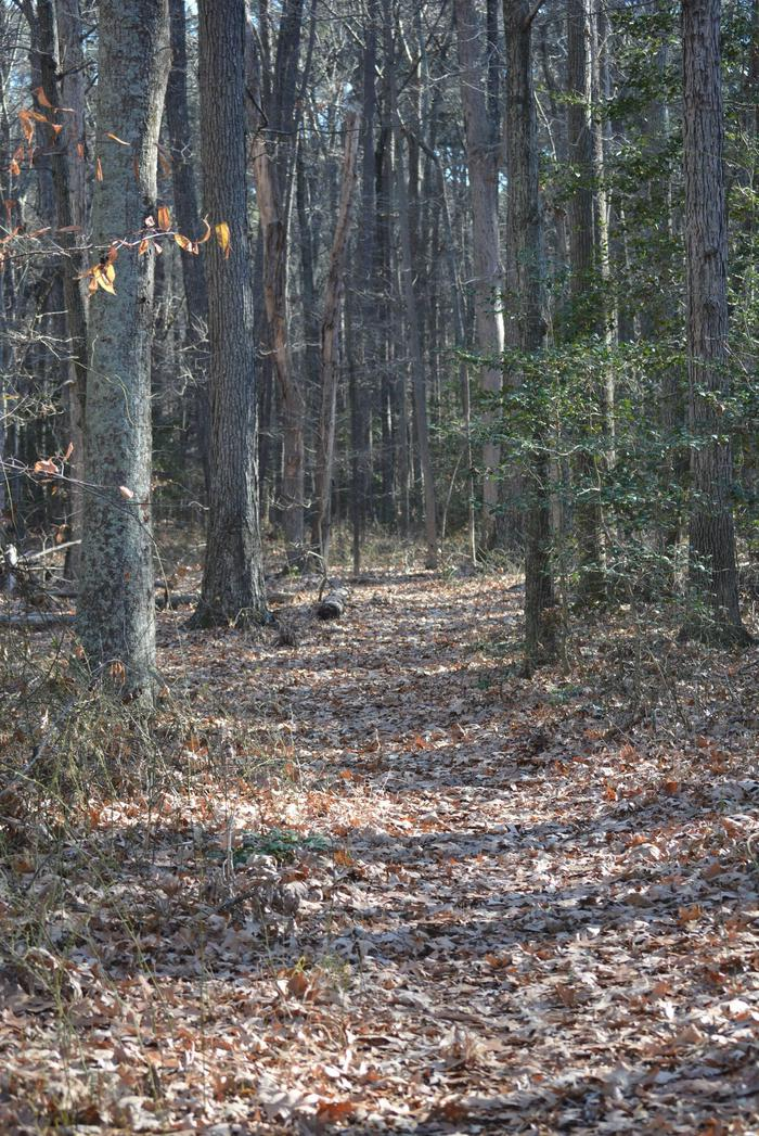 A sample of the trail surface at Blackwater National Wildlife Refuge. Just dirt no gravel or asphalt.Most of the refuge trails do not have a hard surface.