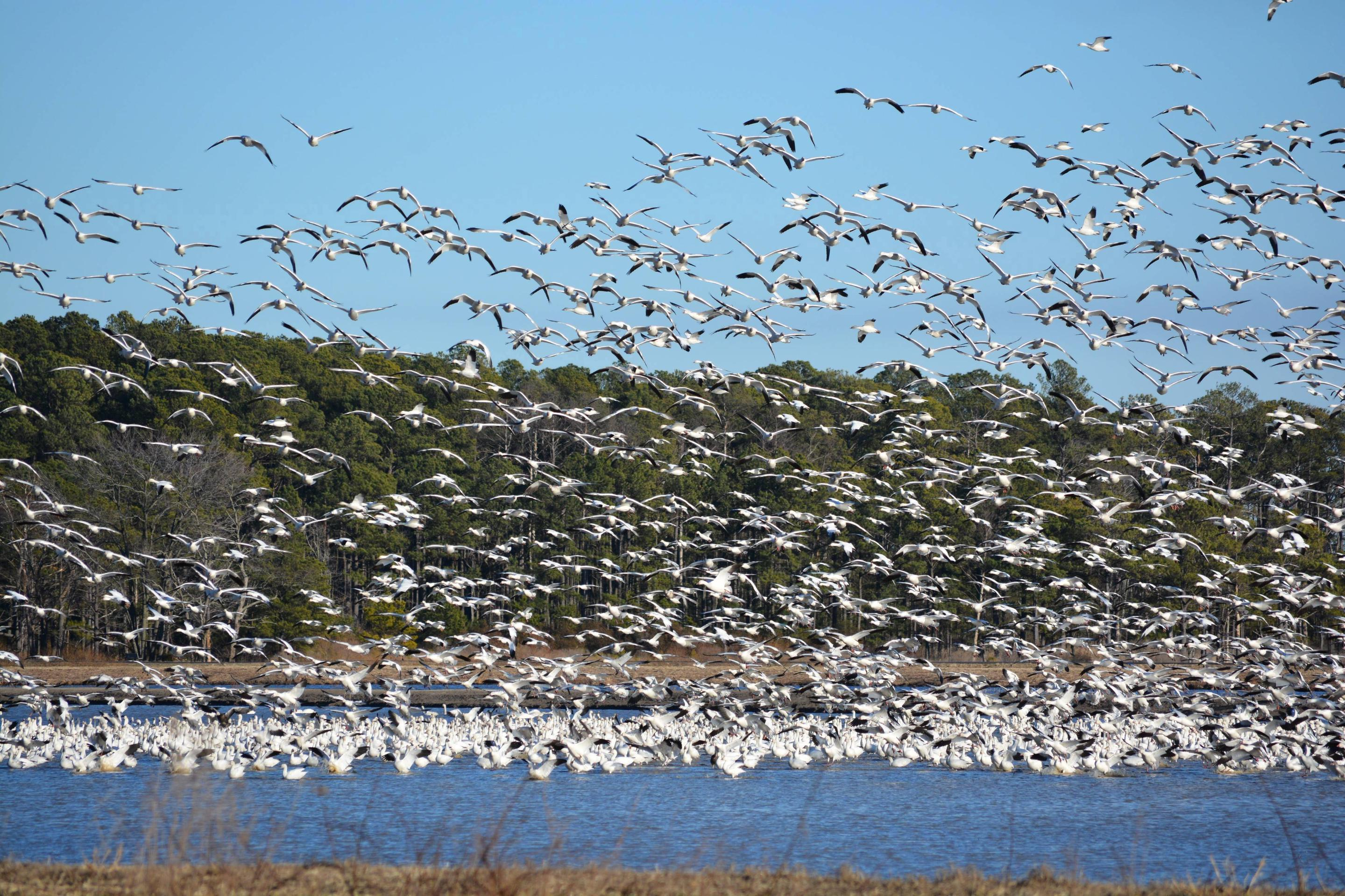 Snow geese taking off from a refuge impoundment.Snow geese leaving a refuge impoundment.