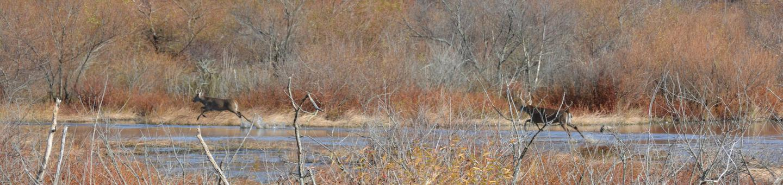 Deer running through a refuge impoundment..This is an image of two deer running through an impoundment at Blackwater National Wildlife Refuge.