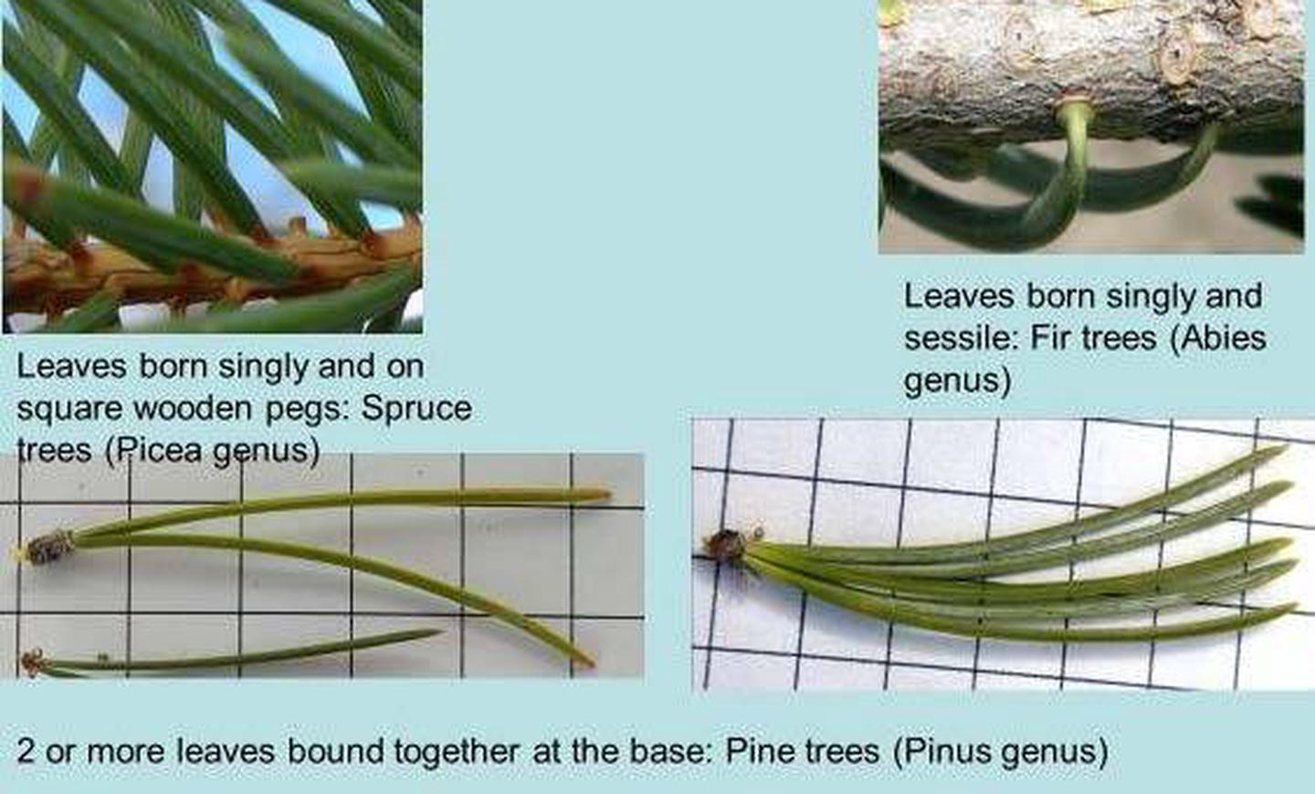 How to id pine, fir and spruce trees by their leaves.