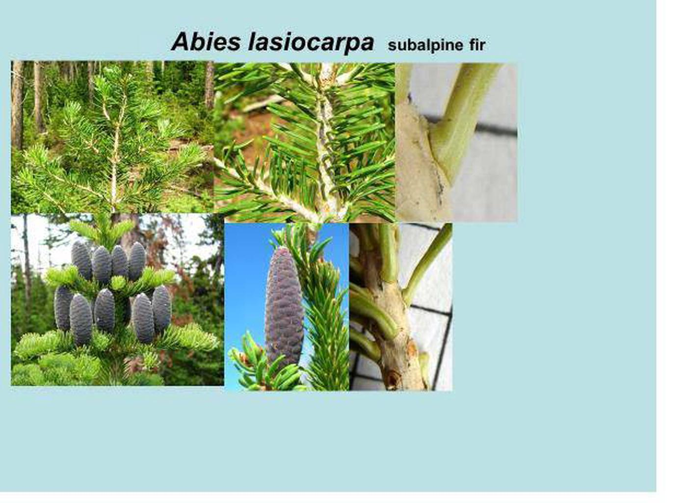 Subalpine fir id.