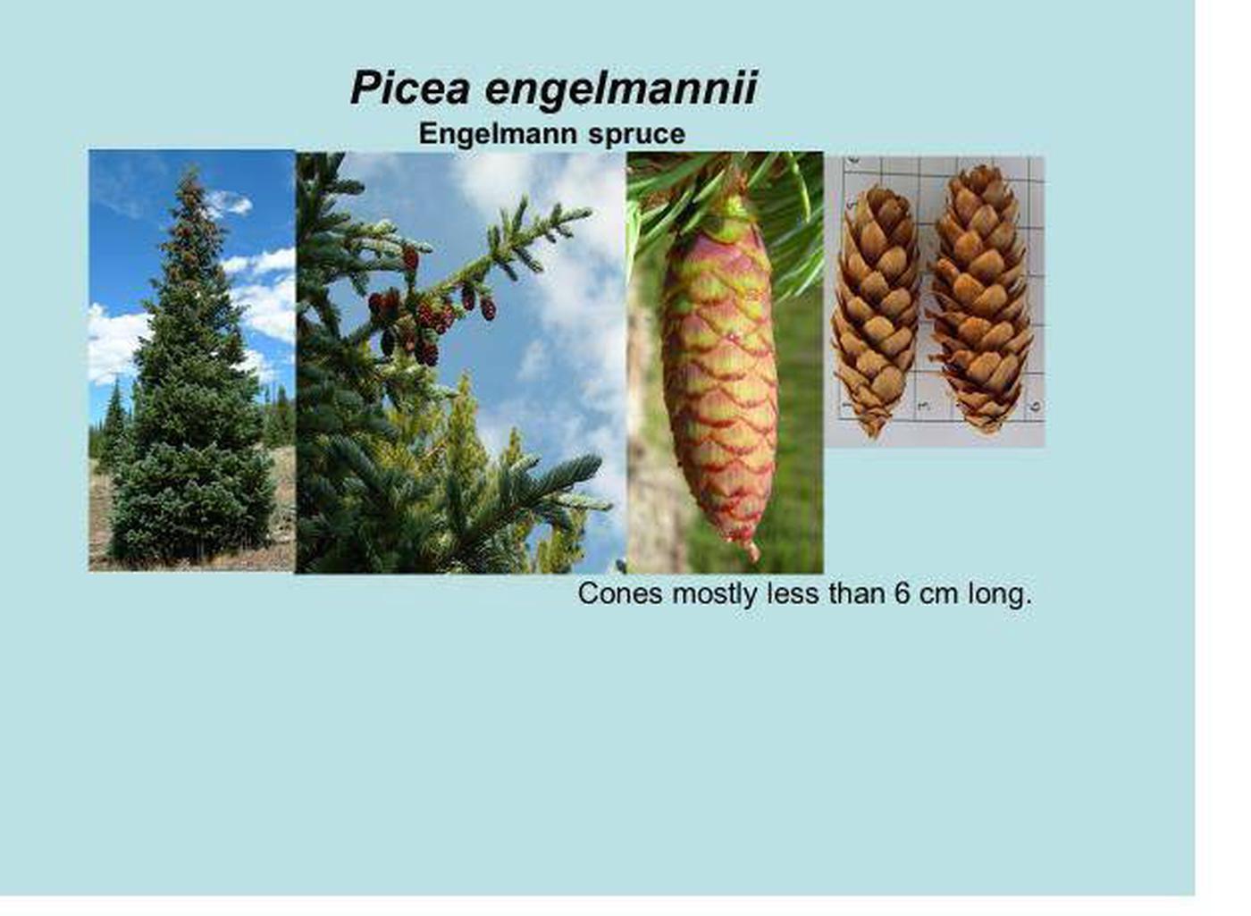 Engelmann spruce id.