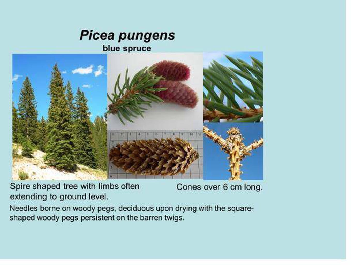 Blue spruce id.