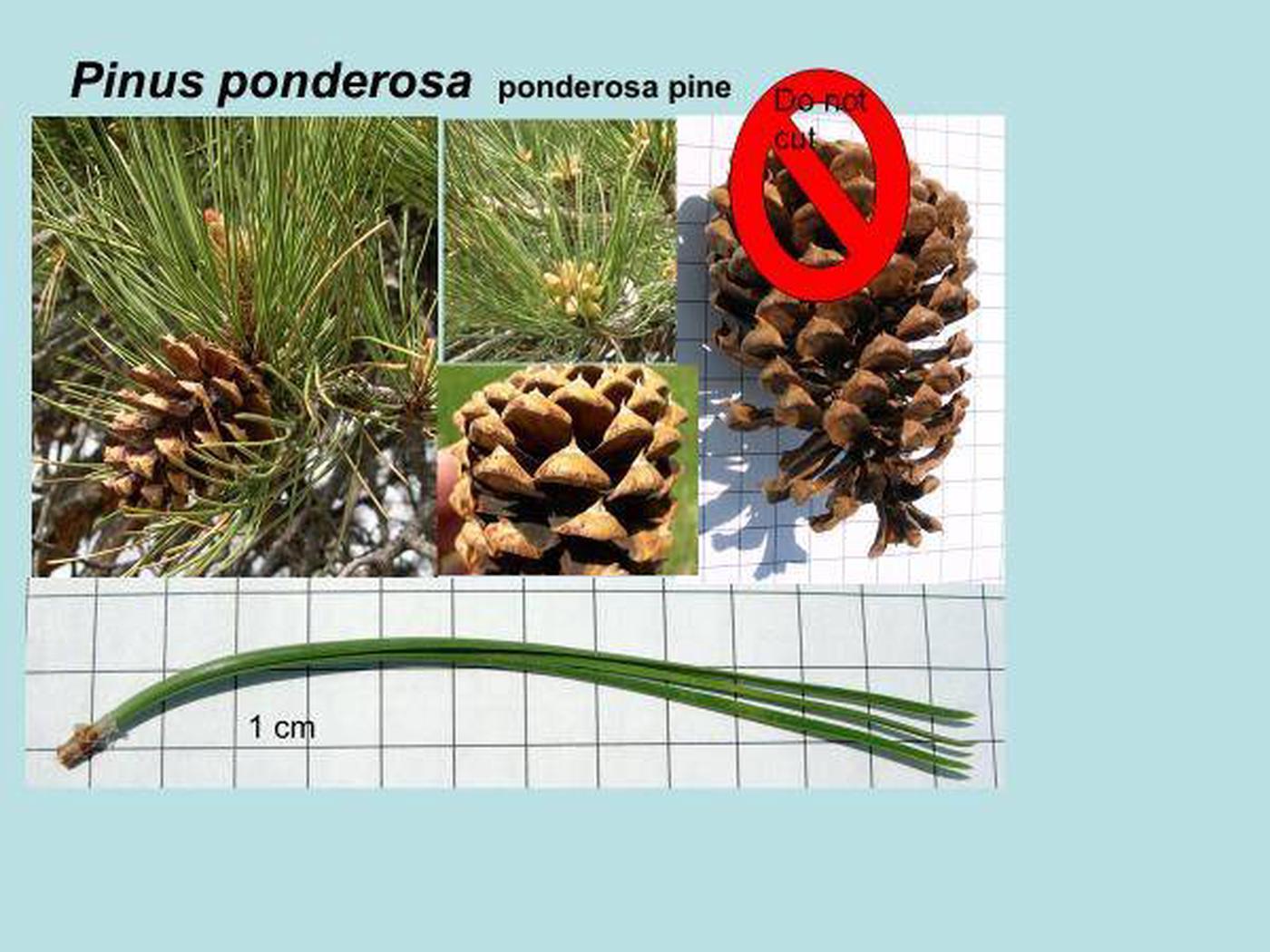 Ponderosa Pine Id - 3 needle pine