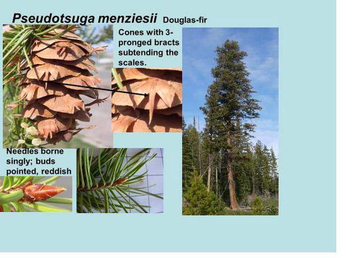 Douglas fir id.