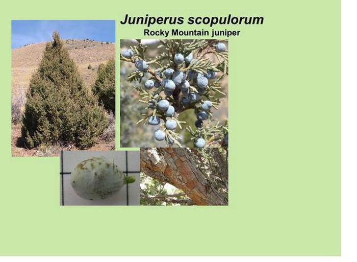 Rocky Mt Juniper id.