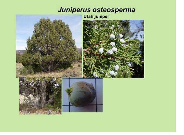 Utah juniper id.