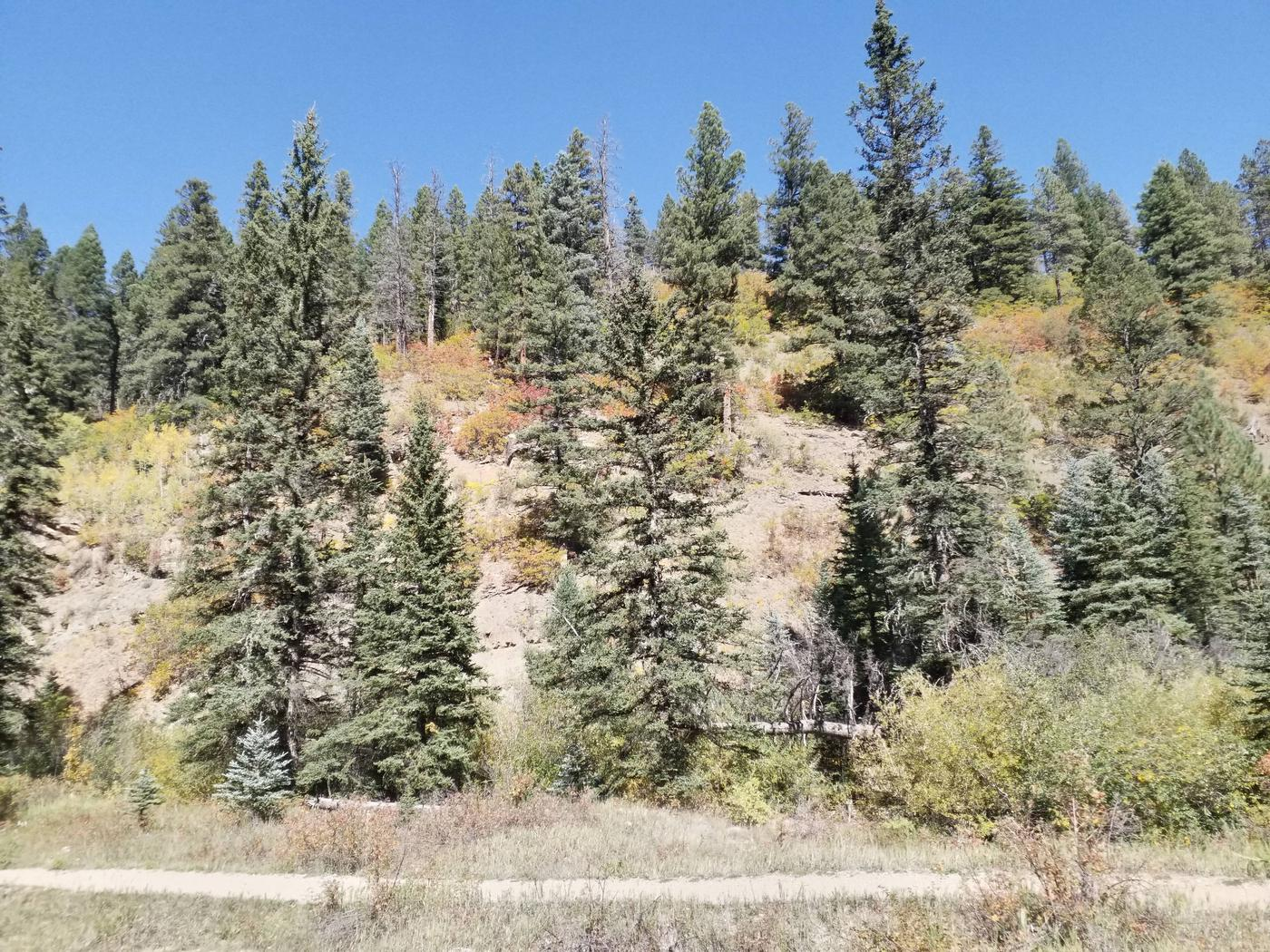 Fall colors change on the hillside with green conifers surrounding it. Hillside with fall foliage.