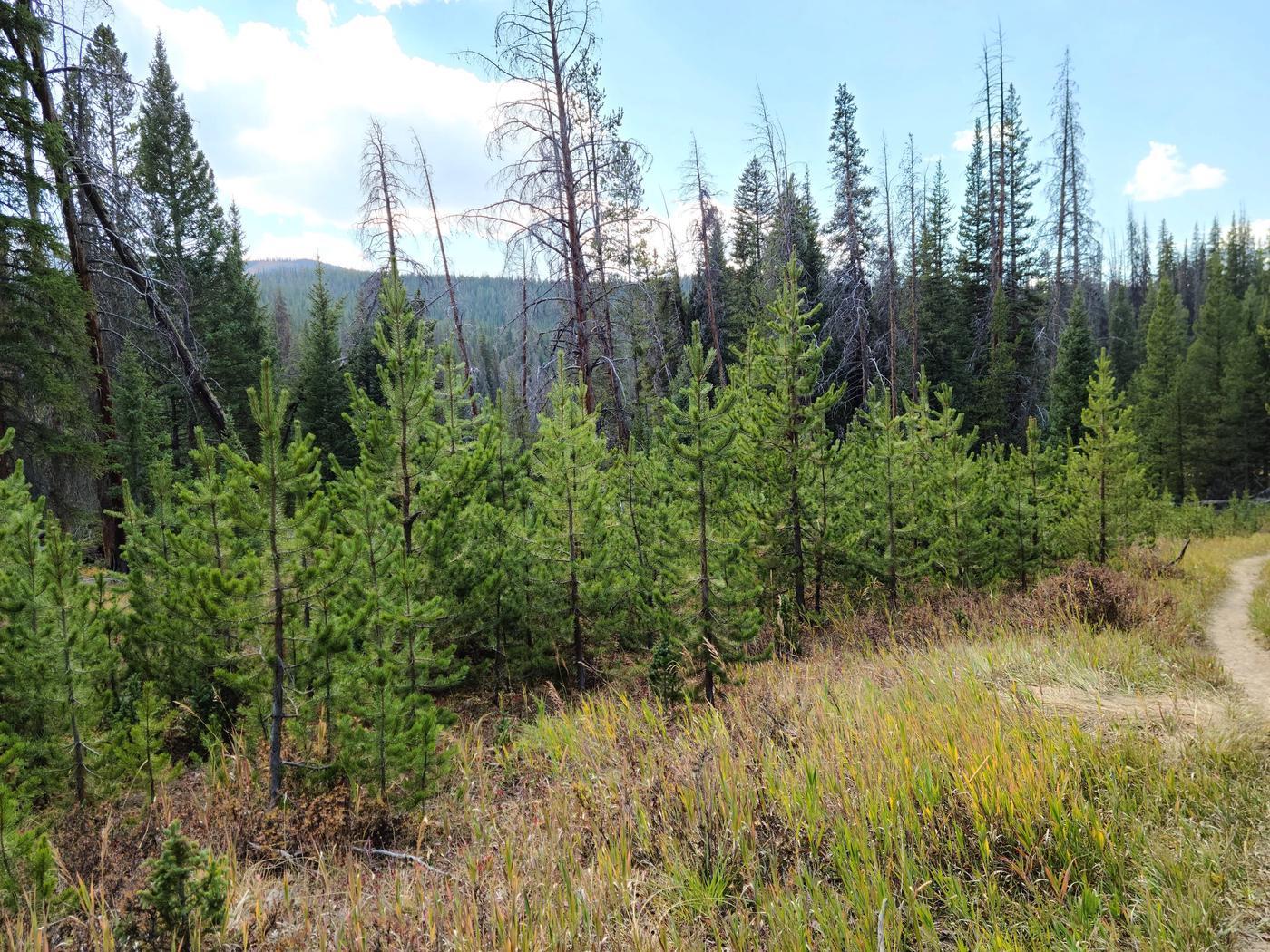 Pine treespine treees