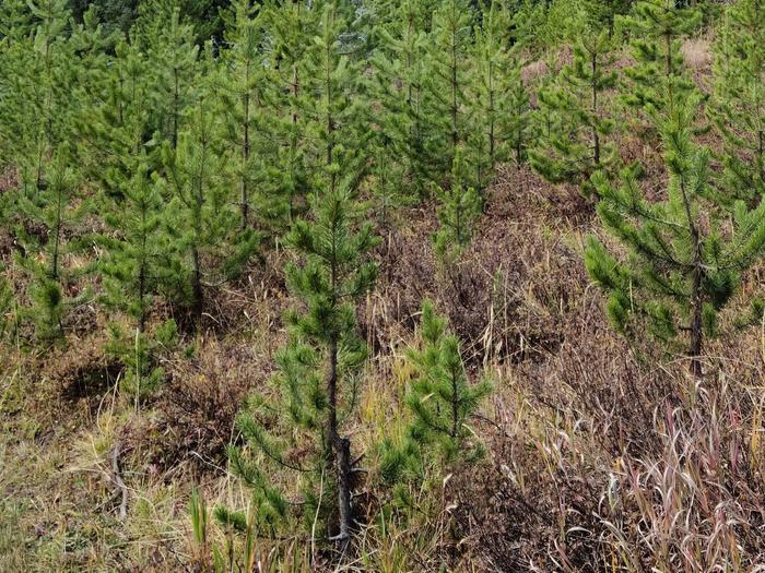 Preview photo of Willamette National Forest Christmas Tree Permit