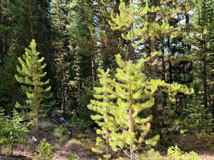 Preview photo of White Mountain National Forest Christmas Tree Permit