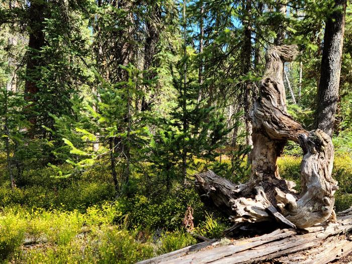 Preview photo of Wallowa-Whitman National Forest Christmas Tree Permit