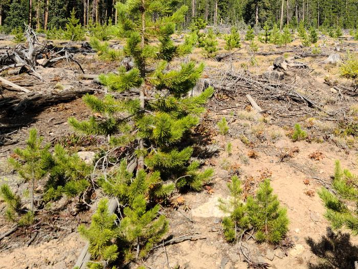 Preview photo of Umatilla National Forest Christmas Tree Permit