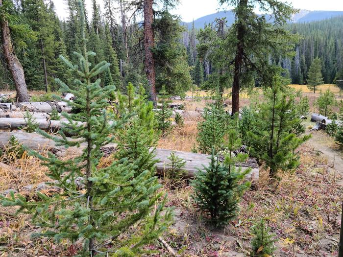 Preview photo of Uinta-Wasatch-Cache National Forest Christmas Tree Permit