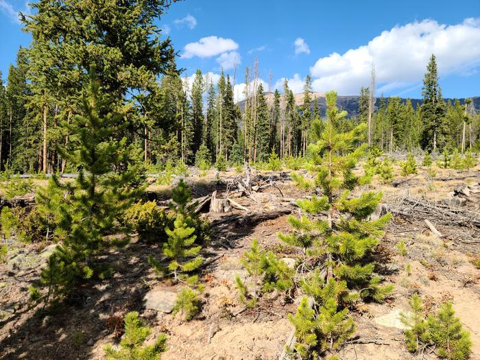 Preview photo of Sawtooth National Forest Christmas Tree Permit