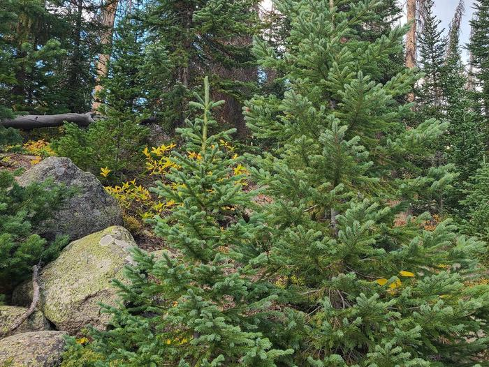 Preview photo of Santa Fe National Forest Christmas Tree Permit
