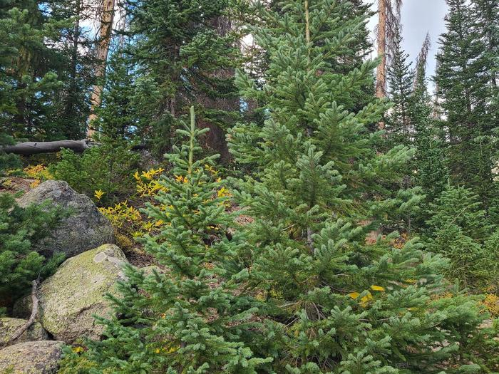 Preview photo of Plumas National Forest Christmas Tree Permit