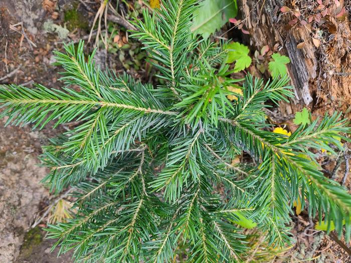 Preview photo of Ottawa National Forest Christmas Tree Permit