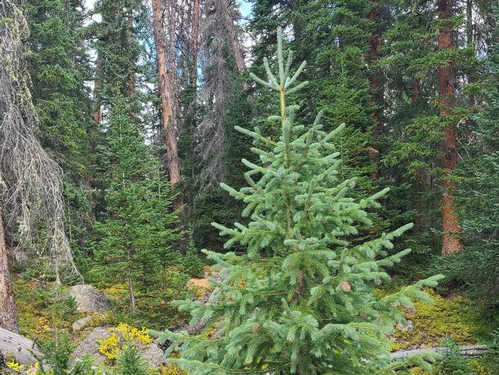 Preview photo of Ocala National Forest Christmas Tree Permit