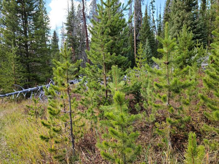 Preview photo of Nez Perce Clearwater National Forest Christmas Tree Permit