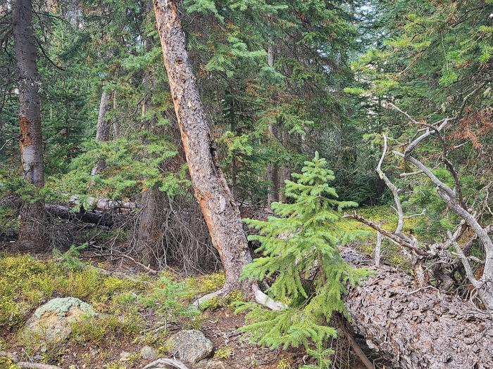 Preview photo of Mt Baker-Snoqualmie National Forest Christmas Tree Permit