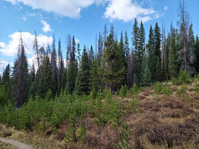 Preview photo of Medicine Bow-Routt National Forest Christmas Tree Permit