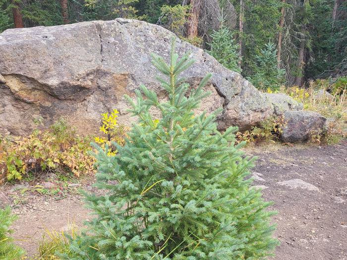 Preview photo of Manti-La Sal National Forest Christmas Tree Permit