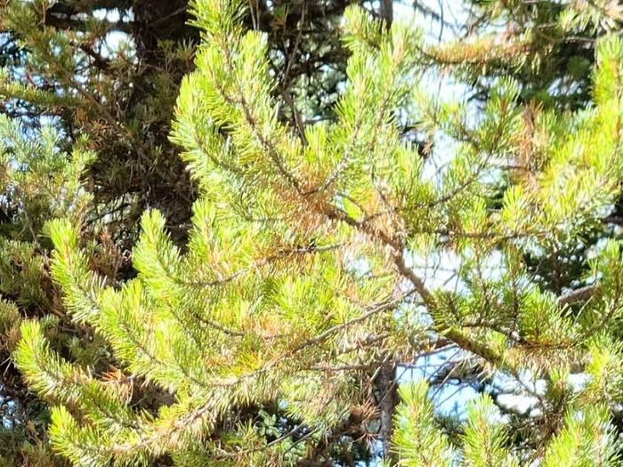 Preview photo of Humboldt-Toiyabe National Forest Christmas Tree Permit