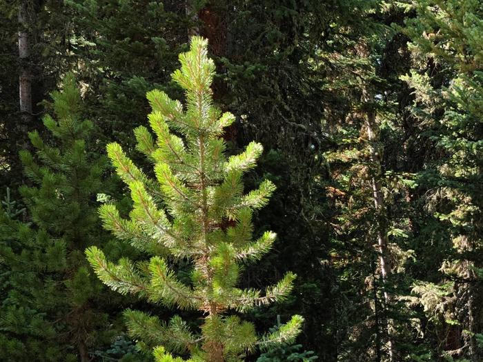 Preview photo of Fremont-Winema National Forest Christmas Tree Permit