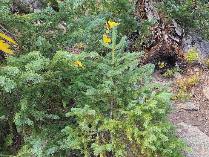 Preview photo of Dixie National Forest Christmas Tree Permit
