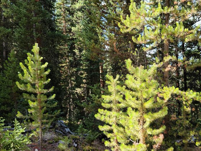 Preview photo of Deschutes National Forest Christmas Tree Permit