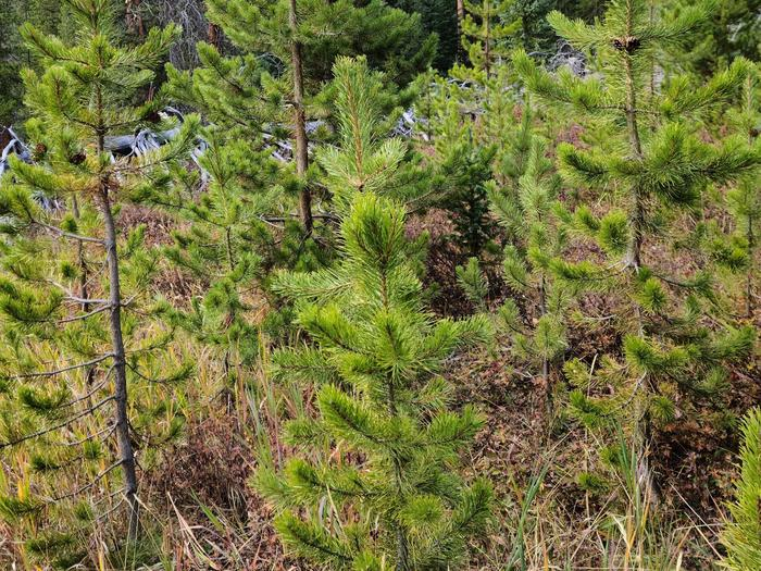 Preview photo of Black Hills National Forest Christmas Tree Permit
