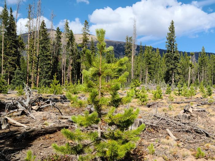 Preview photo of Ashley National Forest Christmas Tree Permit