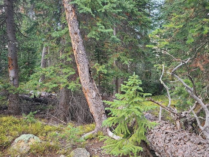 Preview photo of Apache-Sitgreaves National Forest Christmas Tree Permit