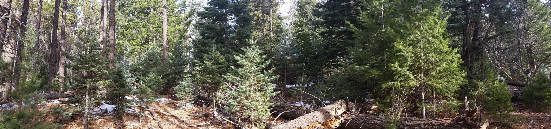 White fir and Douglas-fir trees available on the Mogollon Rim Ranger District