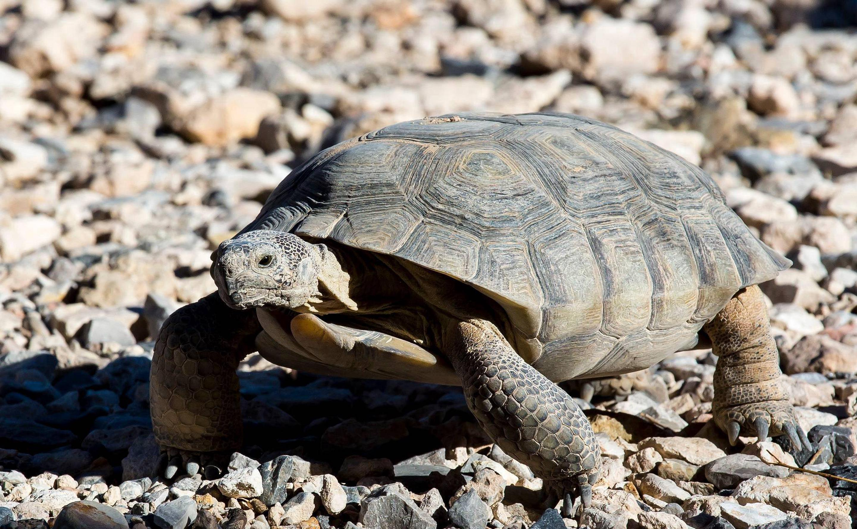 A close-up picture of a desert tortoise.Red Rock Canyon's resident desert tortoise.