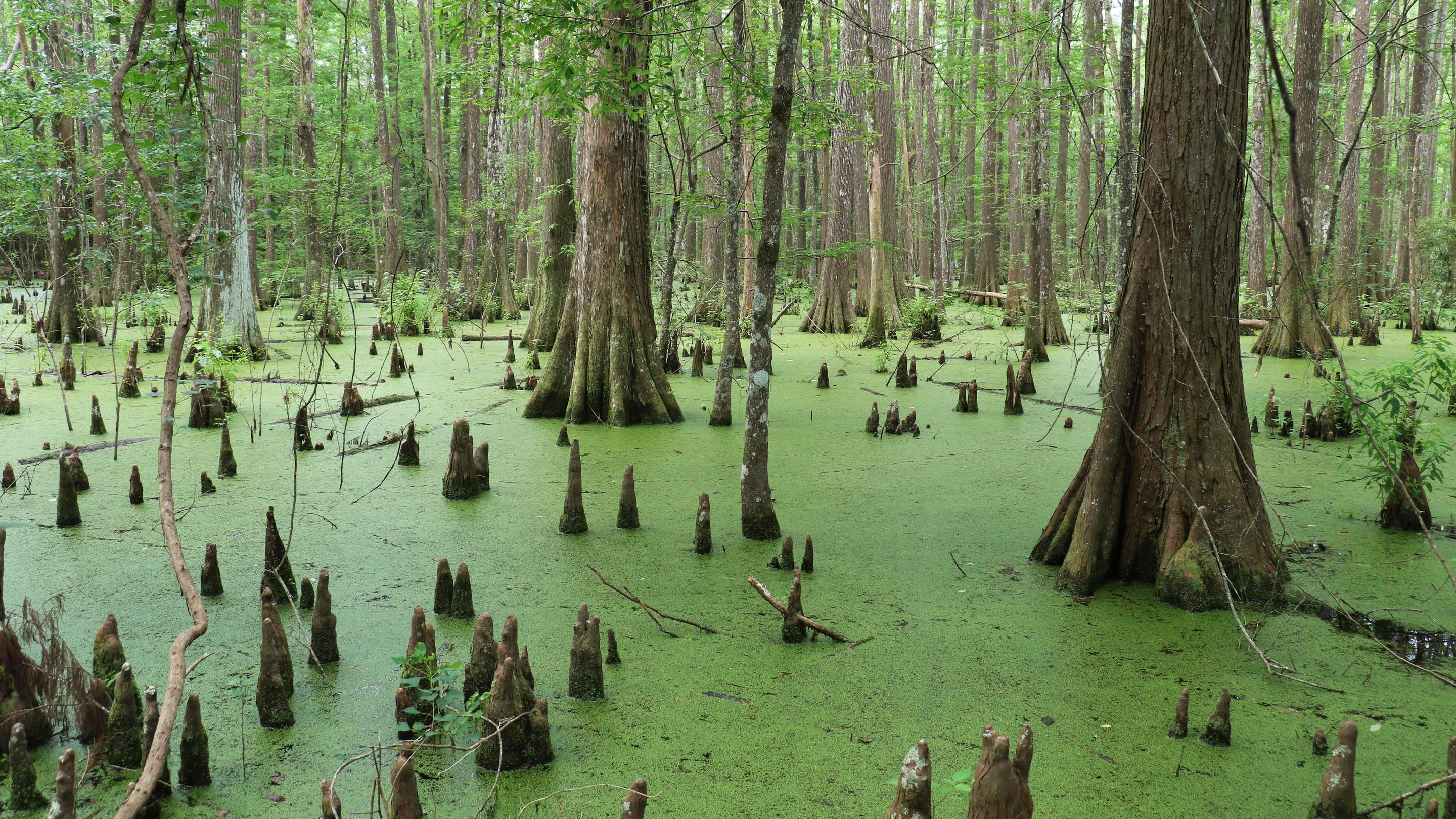 Lance Rosier SwampThe Big Thicket is home to large swamps, full of bald cypress trees and knees.
