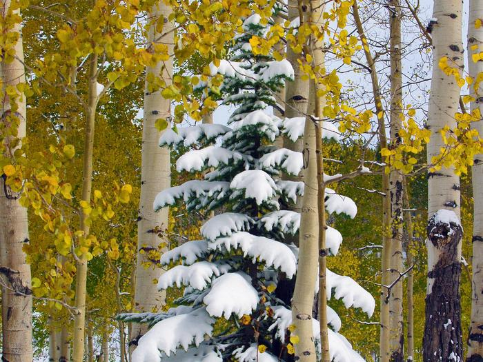Preview photo of Grand Mesa, Uncompahgre And Gunnison National Forest Christmas Tree Permit