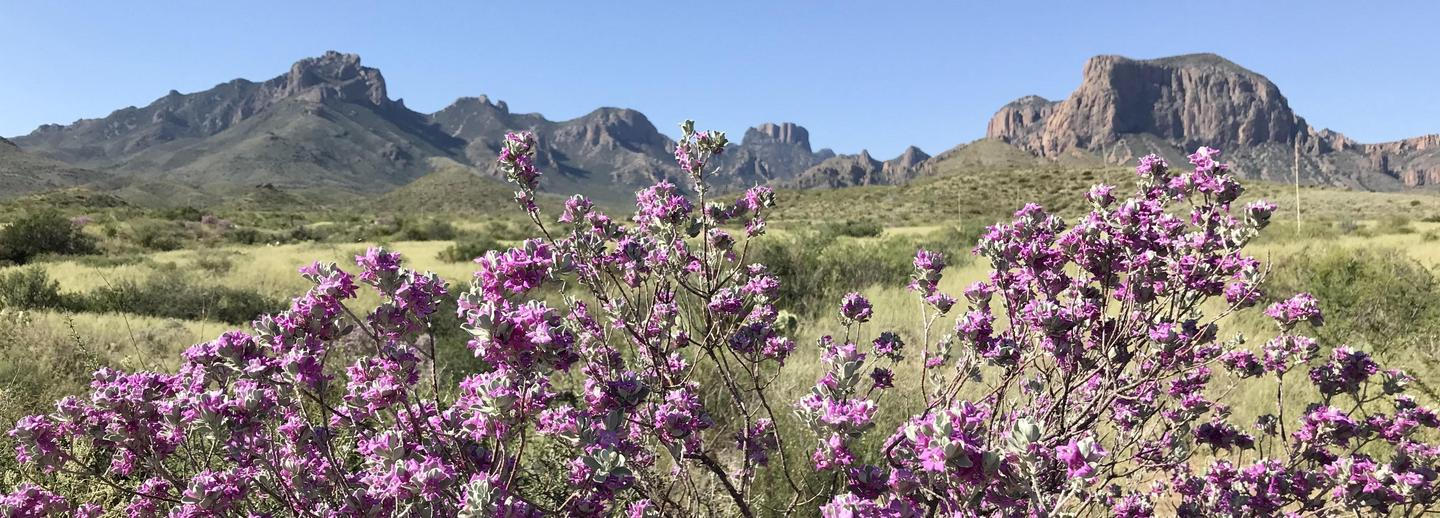 Blooming CenizoCenizo, or Big Bend Silverleaf blossoms after summer rains.