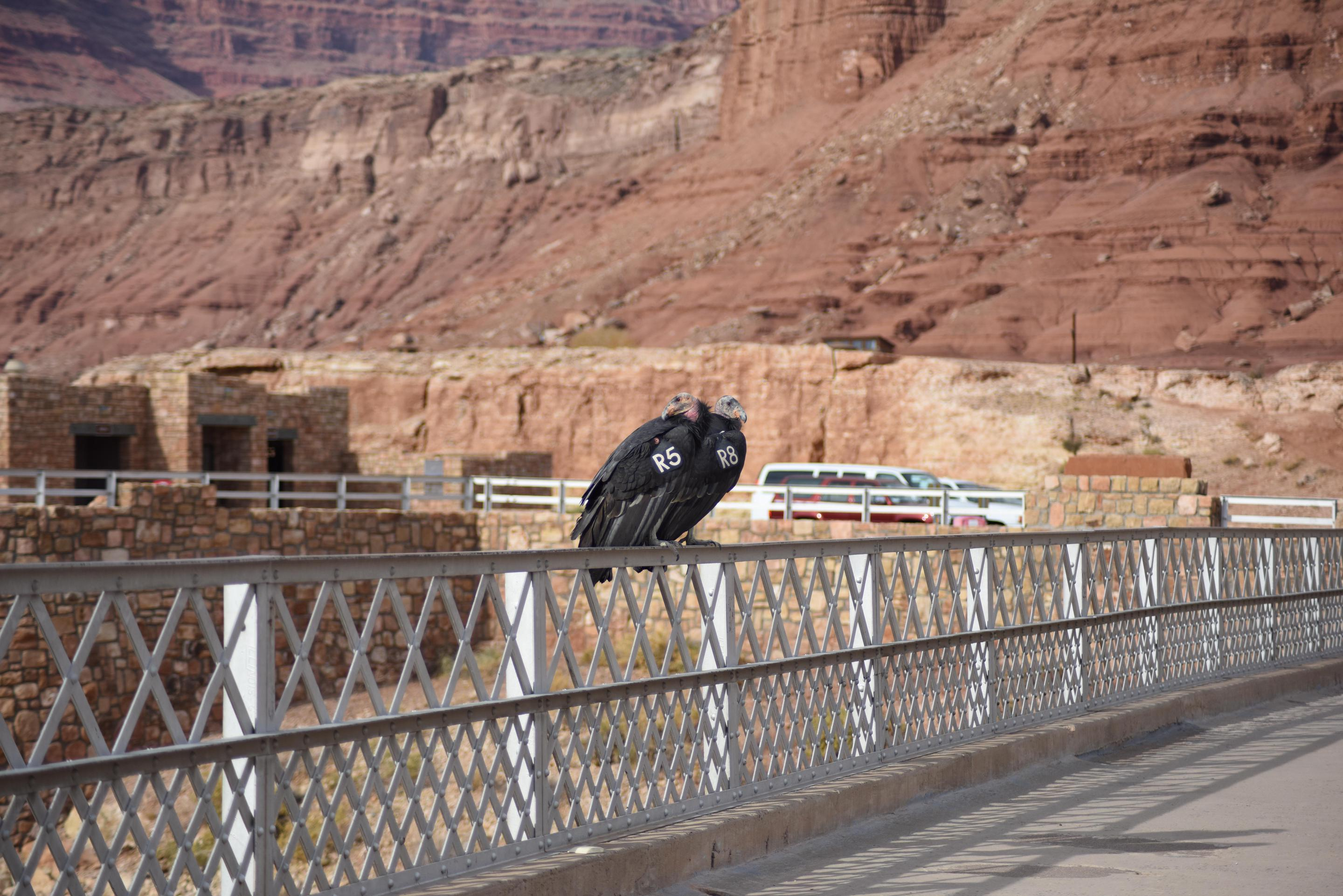 Candors on the historic Navajo BridgeYou never know who you might meet on your walk across the historic Navajo Bridge.