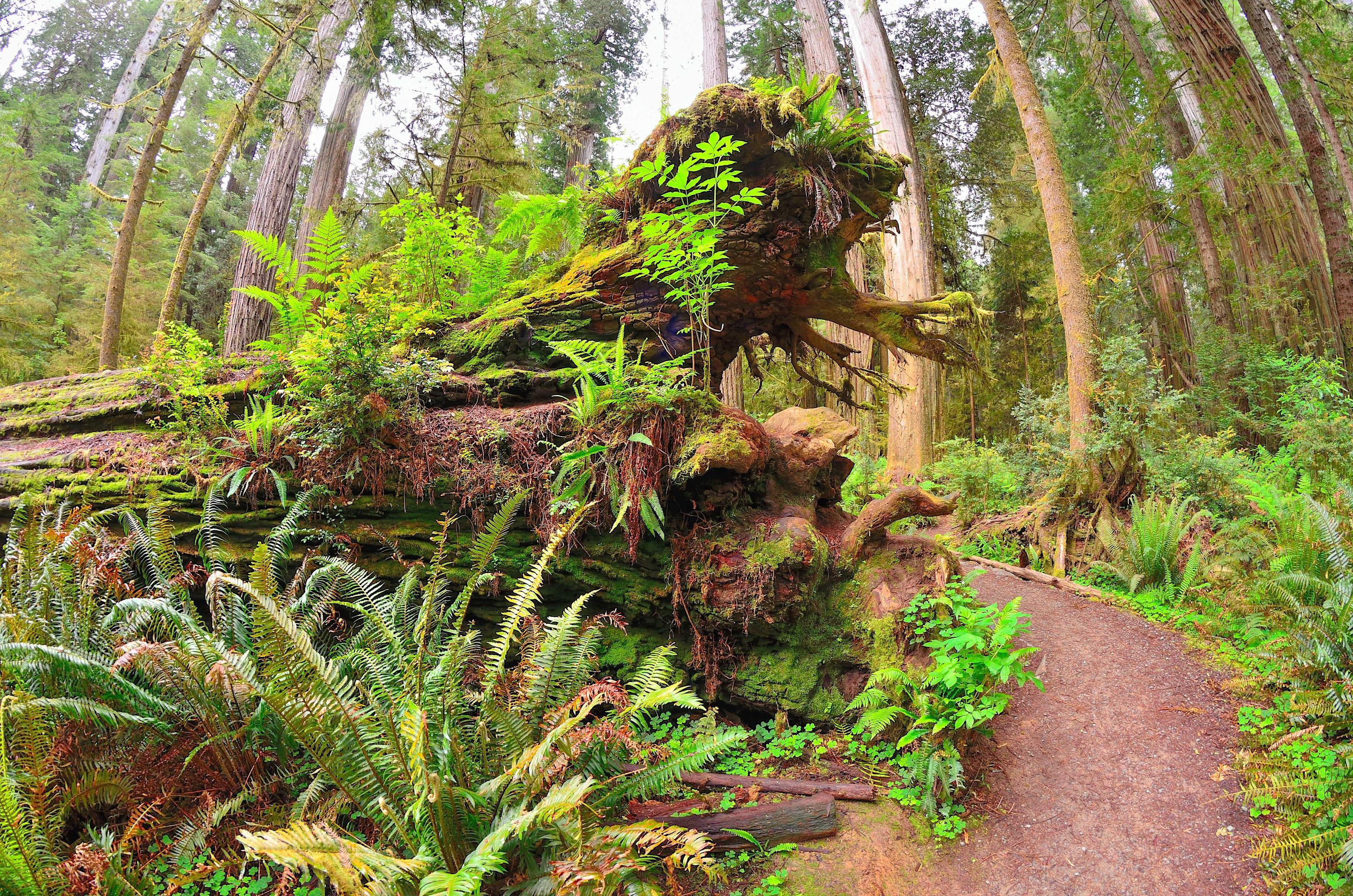 Nurse log on the side of a trail.A fallen redwood tree will be on the forest floor for centuries providing habitat for a new generation of plants and animals.