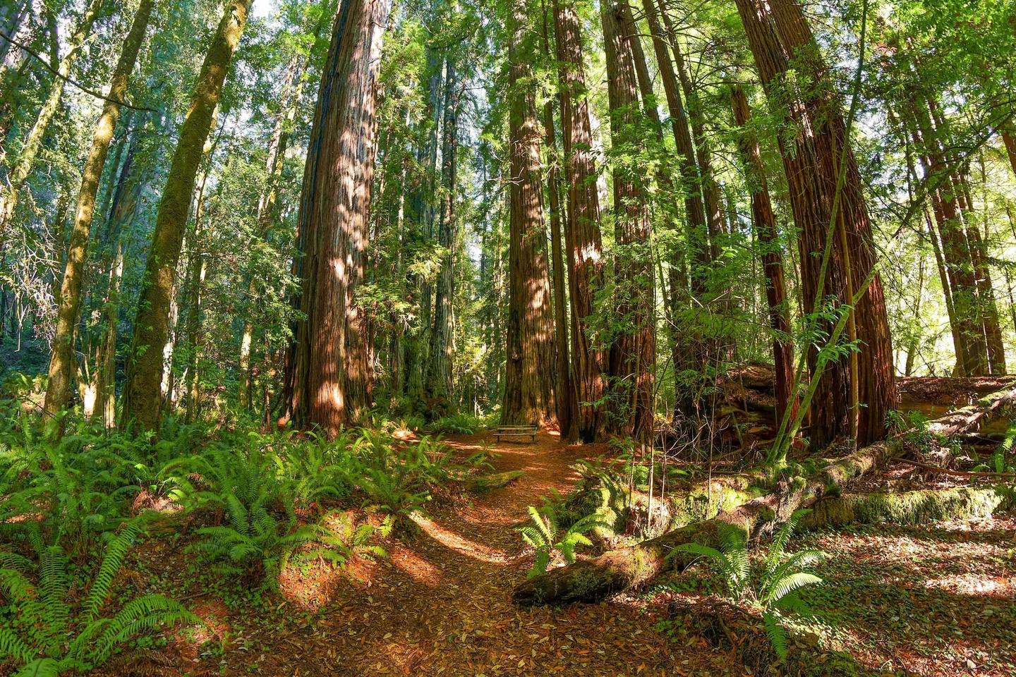 A Redwood GroveOver a hundred miles of trails lead you to places like this.