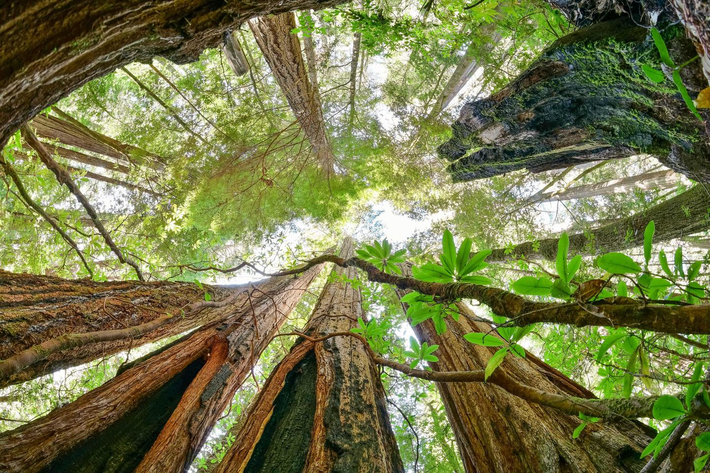 Fire scarred giantsFire has always been a part of a redwood tree's history.