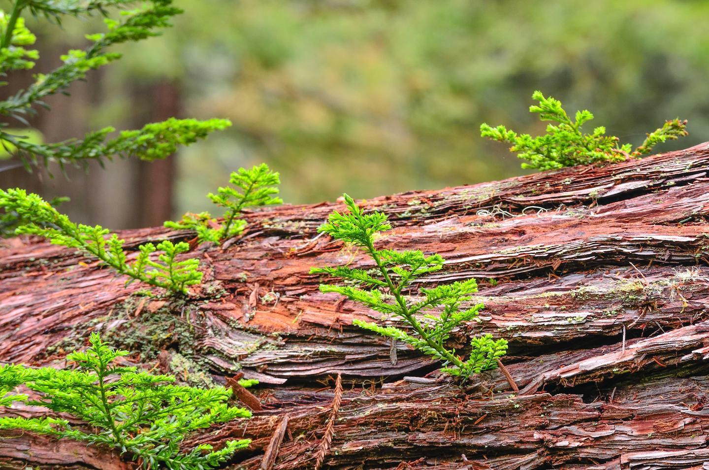 Redwoods ResproutingNew shoots grow off a fallen redwood tree.