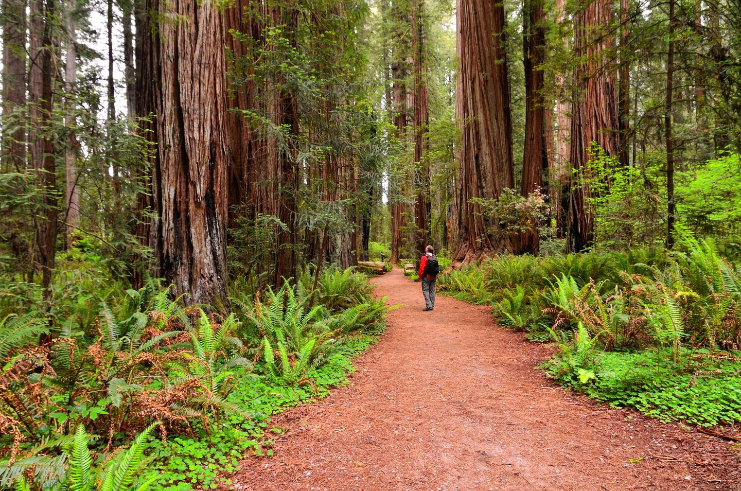 Surrounded by old-growth redwoods.Walking though redwood forests is a beautiful experience.