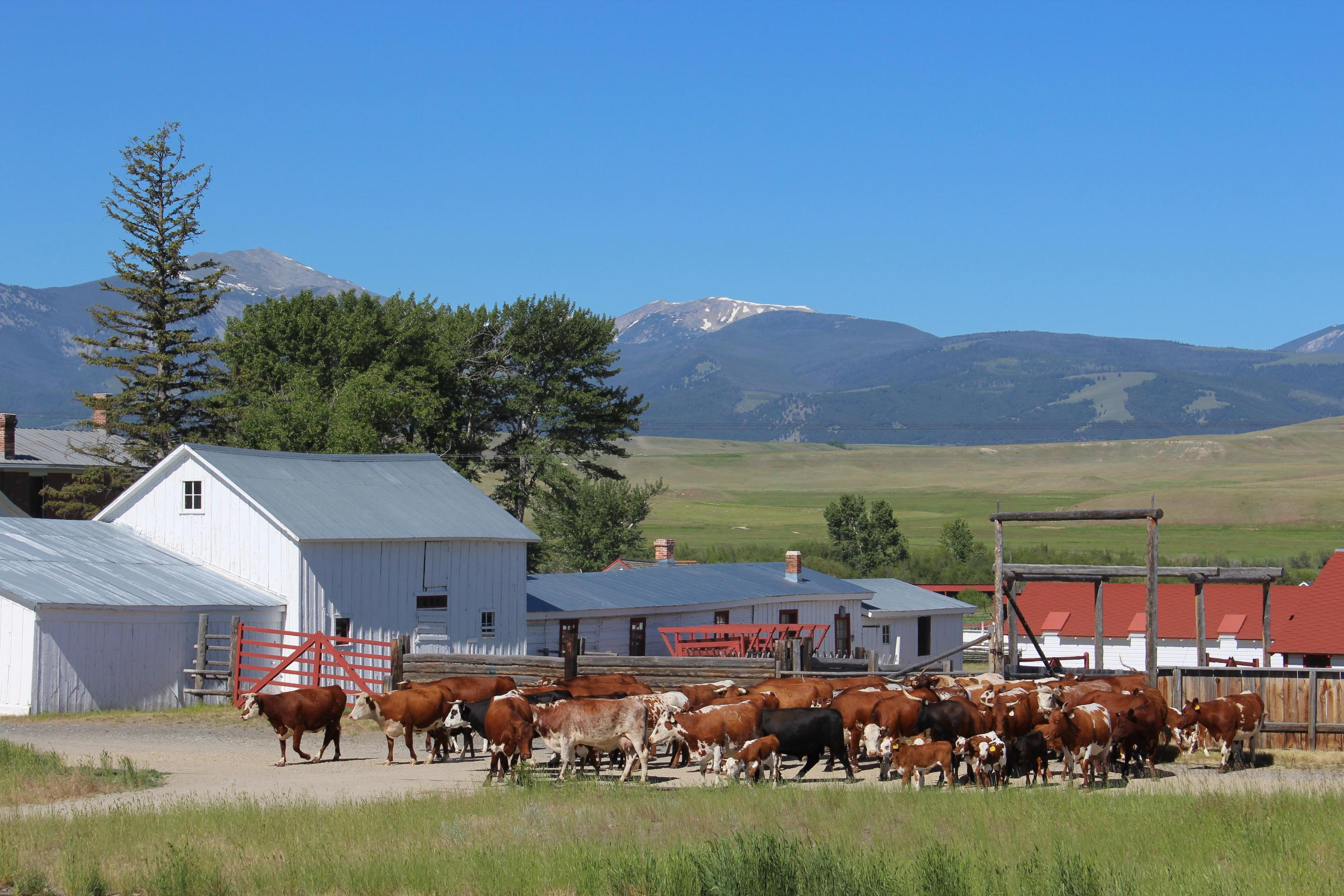 Cattle Herd MovingThe ranch cattle herd contains Hereford, Shorthorn and Texas Longhorn, which were popular breeds during the Open Range Cattle Era