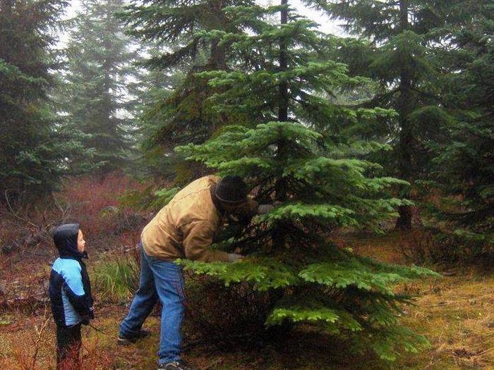 Preview photo of Umpqua National Forest Christmas Tree Permit