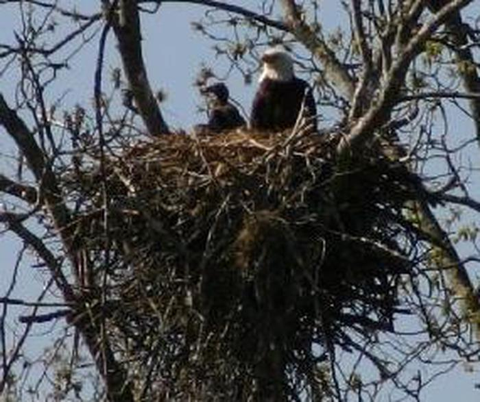 Bald eagles in nestBald Eagles perch on their Nest in the battlefield