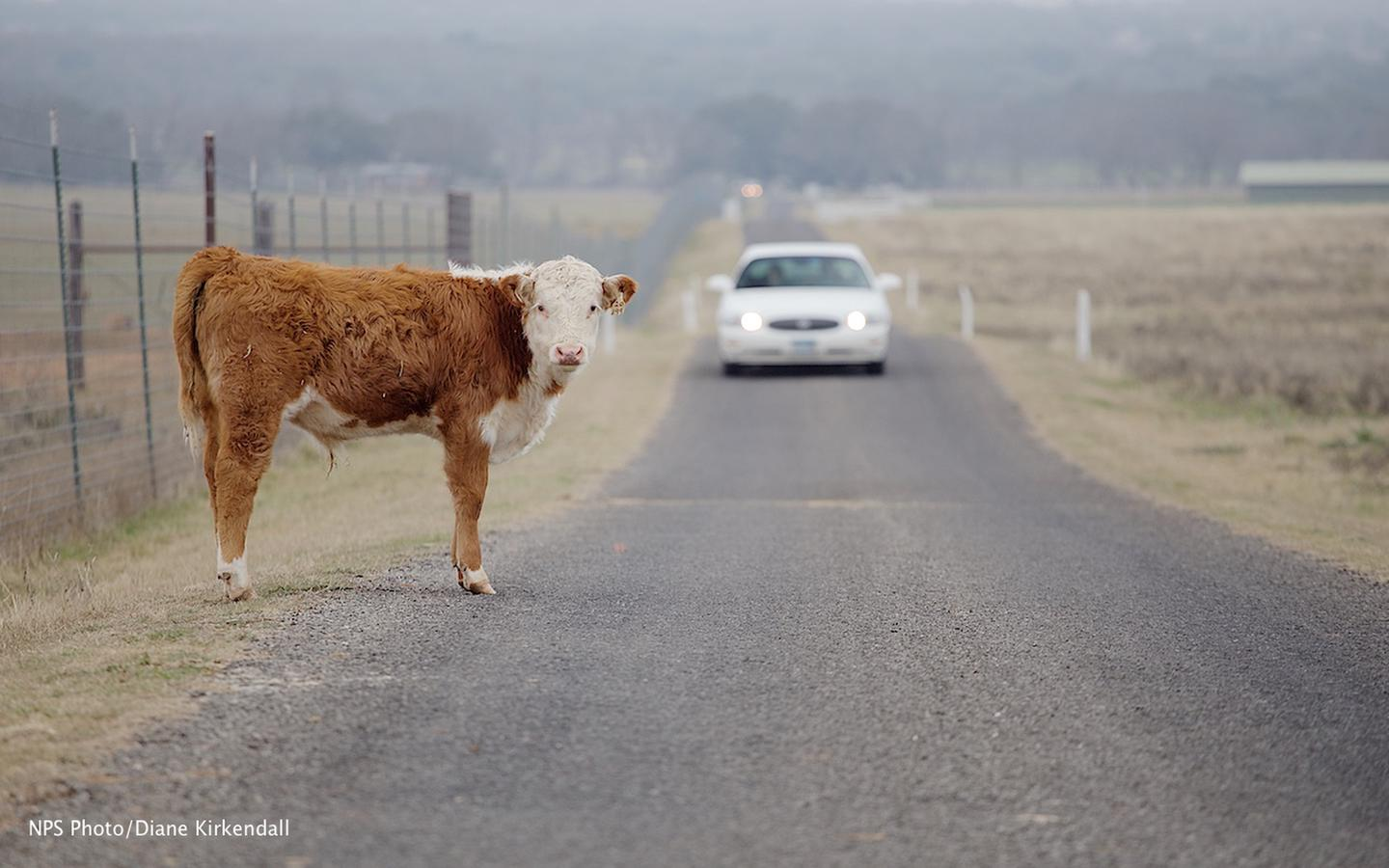 Touring the LBJ RanchA park visitor meets one of the ranch's Hereford cattle while driving the tour route.